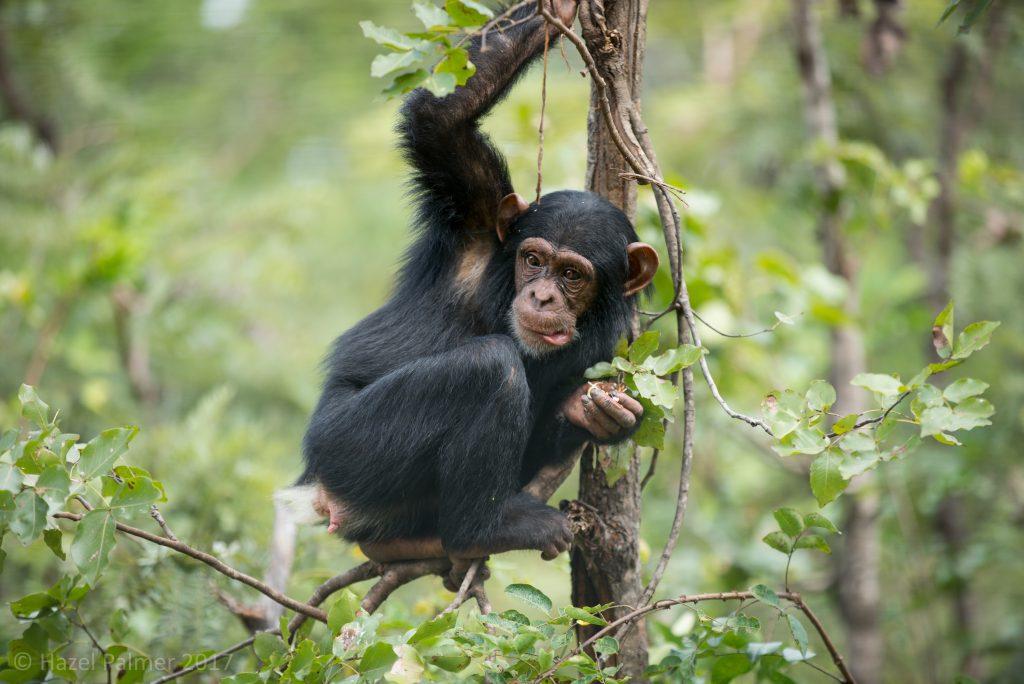 Chimfunshi Wildlife Orphanage, Zambia