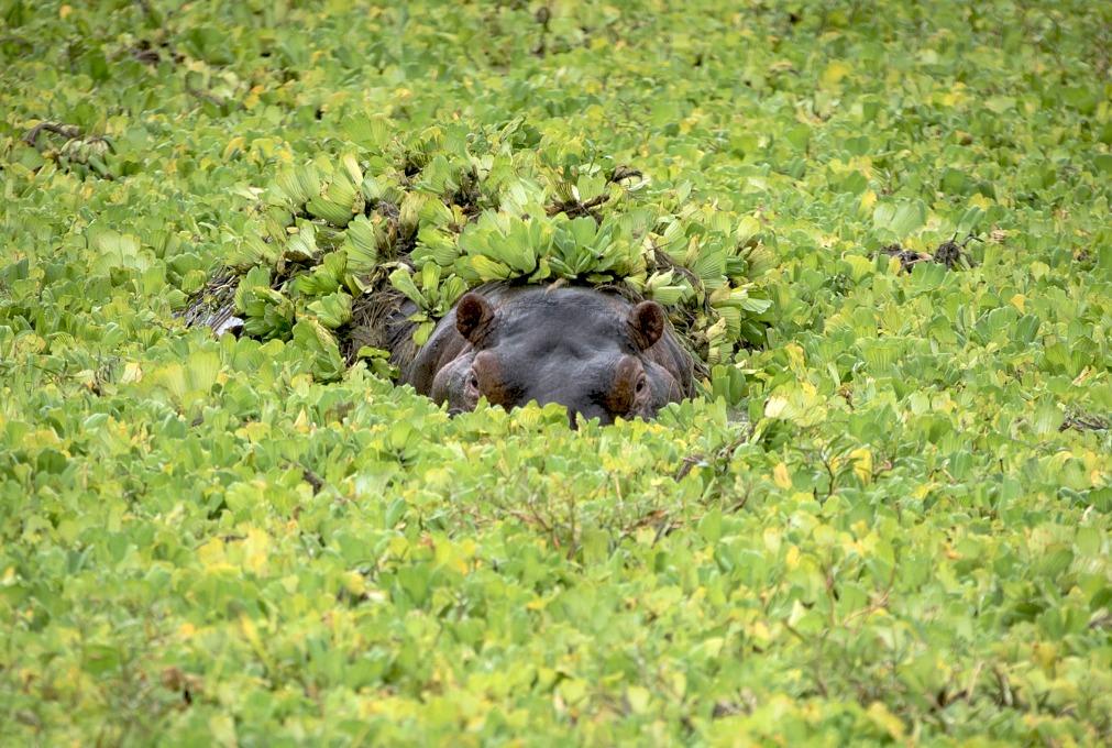 lurking hippopotamus